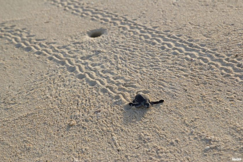 Sea turtles hatching