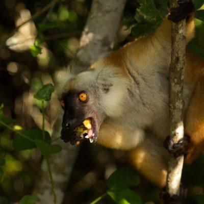 Lémurien roux Madagascar